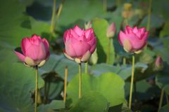 Beautiful Lotus Flowers. Lotus is a purity and the oldest tradition in the East. is a special representative of Buddhist culture. The lotus grows in the mud Stock Photos