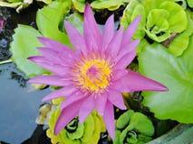 Beautiful lotus flowers in the pool. Beautiful lotus flowers pool narute stock image