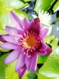 Beautiful lotus flowers in the pool. Beautiful lotus flowers pool narute stock images