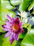 Beautiful lotus flowers in the pool. Beautiful lotus flowers pool narute royalty free stock photos