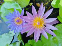 Beautiful lotus flowers in the pool. Beautiful lotus flowers pool narute royalty free stock images