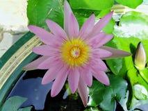 Beautiful lotus flowers in the pool. Beautiful lotus flowers pool narute royalty free stock photo