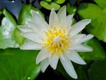 Beautiful lotus flowers in the pool. Beautiful lotus flowers pool narute stock photo