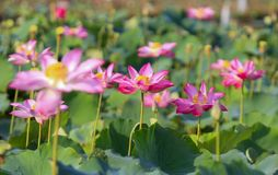 Beautiful Lotus Flowers. Lotus is a purity and the oldest tradition in the East. is a special representative of Buddhist culture. The lotus grows in the mud Royalty Free Stock Photos