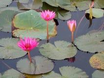 Beautiful lotus flowers stock photos