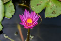 Beautiful lotus flowers or waterlily in pond. Beautiful lotus flowers or waterlily in pond stock images