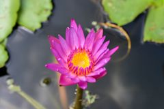 Beautiful lotus flowers or waterlily in pond. Beautiful lotus flowers or waterlily in pond stock photo