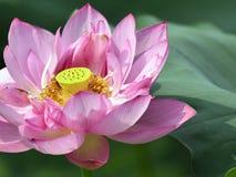 The beautiful lotus in full bloom Stock Photos