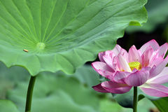 The beautiful lotus in full bloom Royalty Free Stock Photos