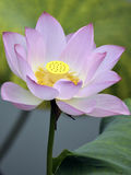 The beautiful lotus in full bloom Royalty Free Stock Photo