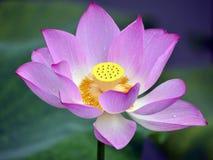 The beautiful lotus in full bloom Stock Image
