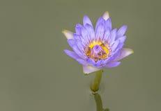 Beautiful lotus in a garden. Beautiful lotus and bee in garden Royalty Free Stock Photo