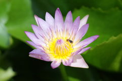 Beautiful Lotus Royalty Free Stock Photography