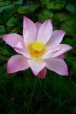 Beautiful lotus. In the lagoon Stock Photo