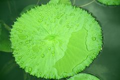 Beautiful Lotus leaf on pond. Beautiful Lotus leaf and drops of water in pond Stock Photos