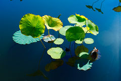 The beautiful lotus Leaves Stock Images