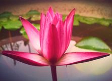 Beautiful lotus. In the morning Stock Photography