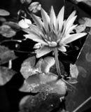My lotus stock photo