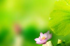 Beautiful Lotus with nice backgroun Stock Photo
