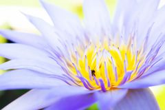 Beautiful lotus in the park. royalty free stock images