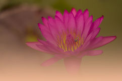 Beautiful lotus pattern for background blurred color gradation. Royalty Free Stock Photo