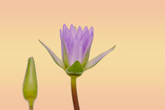 Beautiful lotus pattern for background blurred color gradation. Stock Photos