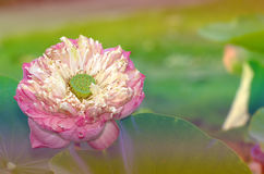 Beautiful lotus pattern for background blurred color gradation. Stock Images