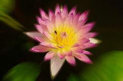 Beautiful lotus pattern for background blurred color gradation. Royalty Free Stock Photography