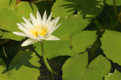 A beautiful lotus plant in the water Stock Image