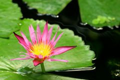 A beautiful lotus plant in the water Stock Photography