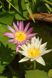 A beautiful lotus plant in the water Royalty Free Stock Photo