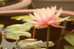 A beautiful lotus plant in the water Stock Images