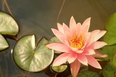 A beautiful lotus plant in the water Stock Photo