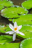 Beautiful lotus in the pond Royalty Free Stock Photography