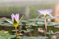 beautiful lotus Royalty Free Stock Photo