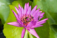 Beautiful lotus Royalty Free Stock Image