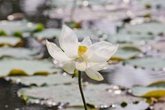 Beautiful lotus in the pond Stock Photos