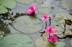 Beautiful lotus in pond. Pink beautiful lotus and green leaf in pond Stock Image