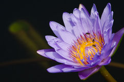 Beautiful lotus in pond. Purple beautiful lotus Royalty Free Stock Image