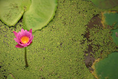 The beautiful lotus in a pond. The beautiful purple lotus in a pond Royalty Free Stock Photo