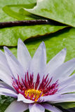 Beautiful lotus in pond Royalty Free Stock Image