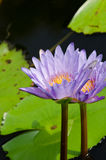 Beautiful lotus in pond Royalty Free Stock Images