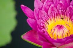 Beautiful lotus in pond Stock Photo
