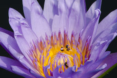 Beautiful lotus in pond. Purple beautiful lotus and green leaf is background in river Stock Photography