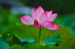 Beautiful lotus pond in summer in China .Lotus flower Royalty Free Stock Images