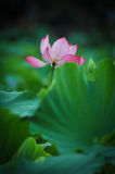 Beautiful lotus pond in summer in China .Lotus flower Stock Images