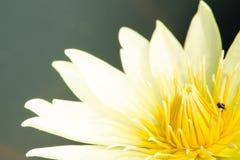 Beautiful lotus in pond. White beautiful lotus and bee Royalty Free Stock Photos