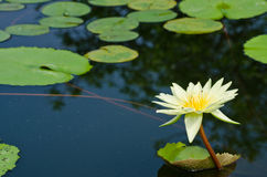 Beautiful lotus in pond. White beautiful lotus is growth in pond and it help to feed insect Stock Photography