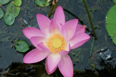 Beautiful lotus in pong Stock Images
