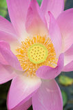 Beautiful lotus in pong Stock Image